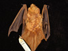 http://mczbase.mcz.harvard.edu/specimen_images/mammalogy/large/25980_Lasiurus_borealis_borealis_d.jpg
