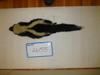 http://mczbase.mcz.harvard.edu/specimen_images/mammalogy/large/26155_Mephitis_mephitis_nigra_d.jpg
