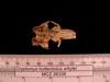 http://mczbase.mcz.harvard.edu/specimen_images/mammalogy/large/26336_Cryptomys_hottentotus_whytei_hd.jpg
