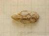 http://mczbase.mcz.harvard.edu/specimen_images/mammalogy/large/26352_Otomys_anchietae_lacustris_hd.jpg