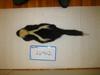 http://mczbase.mcz.harvard.edu/specimen_images/mammalogy/large/26462_Mephitis_mephitis_nigra_d.jpg