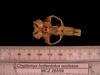 http://mczbase.mcz.harvard.edu/specimen_images/mammalogy/large/26559_Cryptomys_hottentotus_whytei_hv.jpg