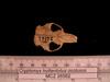 http://mczbase.mcz.harvard.edu/specimen_images/mammalogy/large/26562_Cryptomys_hottentotus_whytei_hd.jpg