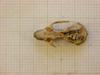 http://mczbase.mcz.harvard.edu/specimen_images/mammalogy/large/26643_Otomys_typus_uzungwensis_hd.jpg