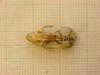 http://mczbase.mcz.harvard.edu/specimen_images/mammalogy/large/26652_Otomys_typus_uzungwensis_hd.jpg