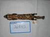 http://mczbase.mcz.harvard.edu/specimen_images/mammalogy/large/26882_Vormela_peregusna_d.jpg