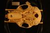 http://mczbase.mcz.harvard.edu/specimen_images/mammalogy/large/27108_Colobus_badius_preussi_hv.jpg