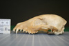 http://mczbase.mcz.harvard.edu/specimen_images/mammalogy/large/27125_Lycalopex_vetulus_hl.jpg