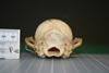 http://mczbase.mcz.harvard.edu/specimen_images/mammalogy/large/27125_Lycalopex_vetulus_hp.jpg