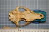 http://mczbase.mcz.harvard.edu/specimen_images/mammalogy/large/27125_Lycalopex_vetulus_hv.jpg
