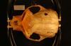 http://mczbase.mcz.harvard.edu/specimen_images/mammalogy/large/27175_Colobus_polykomos_sharpei_hd.jpg