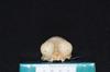 http://mczbase.mcz.harvard.edu/specimen_images/mammalogy/large/27214_Aotus_trivirgatus_griseimembra_hf.jpg
