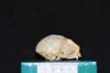 http://mczbase.mcz.harvard.edu/specimen_images/mammalogy/large/27214_Aotus_trivirgatus_griseimembra_hl.jpg