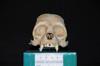http://mczbase.mcz.harvard.edu/specimen_images/mammalogy/large/27875_Ateles_Paniscus_hf.jpg