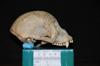 http://mczbase.mcz.harvard.edu/specimen_images/mammalogy/large/27875_Ateles_Paniscus_hl.jpg