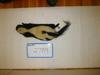 http://mczbase.mcz.harvard.edu/specimen_images/mammalogy/large/2789_Mephitis_mephitis_nigra_d.jpg