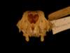 http://mczbase.mcz.harvard.edu/specimen_images/mammalogy/large/28020_Macropus_eugenii_hf.jpg