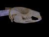 http://mczbase.mcz.harvard.edu/specimen_images/mammalogy/large/28020_Macropus_eugenii_hl.jpg