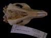 http://mczbase.mcz.harvard.edu/specimen_images/mammalogy/large/28020_Macropus_eugenii_hv2.jpg