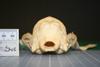 http://mczbase.mcz.harvard.edu/specimen_images/mammalogy/large/28056_Speothos_venaticus_hp.jpg