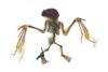 http://mczbase.mcz.harvard.edu/specimen_images/mammalogy/large/28221_Uroderma_bilobatum_v.jpg