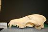 http://mczbase.mcz.harvard.edu/specimen_images/mammalogy/large/28615_Chrysocyon_brachyurus_hl.jpg