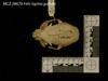 http://mczbase.mcz.harvard.edu/specimen_images/mammalogy/large/28678_Felis_tigrina_guttula_hd2.jpg