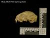 http://mczbase.mcz.harvard.edu/specimen_images/mammalogy/large/28678_Felis_tigrina_guttula_hl.jpg