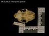 http://mczbase.mcz.harvard.edu/specimen_images/mammalogy/large/28678_Felis_tigrina_guttula_hv.jpg