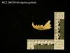 http://mczbase.mcz.harvard.edu/specimen_images/mammalogy/large/28678_Felis_tigrina_guttula_ml.jpg