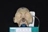 http://mczbase.mcz.harvard.edu/specimen_images/mammalogy/large/28735_Alouatta_palliata_trabeata_hf.jpg
