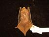 http://mczbase.mcz.harvard.edu/specimen_images/mammalogy/large/29438_Lasiurus_seminolus_d.jpg