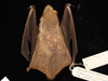 http://mczbase.mcz.harvard.edu/specimen_images/mammalogy/large/29440_Lasiurus_borealis_borealis_d.jpg