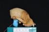 http://mczbase.mcz.harvard.edu/specimen_images/mammalogy/large/29544_Alouatta_palliata_trabeata_hl.jpg