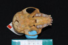 http://mczbase.mcz.harvard.edu/specimen_images/mammalogy/large/29544_Alouatta_palliata_trabeata_hv.jpg