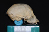 http://mczbase.mcz.harvard.edu/specimen_images/mammalogy/large/29628_Ateles_geoffroyi_geoffroyi_hl.jpg