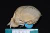 http://mczbase.mcz.harvard.edu/specimen_images/mammalogy/large/29628_Ateles_geoffroyi_geoffroyi_hl2.jpg