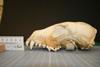 http://mczbase.mcz.harvard.edu/specimen_images/mammalogy/large/30382_Cuon_alpinus_alpinus_hl.jpg