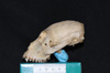 http://mczbase.mcz.harvard.edu/specimen_images/mammalogy/large/30439_Alouatta_belzebul_hl.jpg