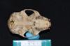 http://mczbase.mcz.harvard.edu/specimen_images/mammalogy/large/30439_Alouatta_belzebul_hv.jpg
