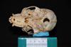 http://mczbase.mcz.harvard.edu/specimen_images/mammalogy/large/30711_Ateles_Paniscus_hv.jpg
