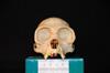 http://mczbase.mcz.harvard.edu/specimen_images/mammalogy/large/30712_Ateles_Paniscus_hf.jpg