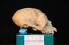 http://mczbase.mcz.harvard.edu/specimen_images/mammalogy/large/30712_Ateles_Paniscus_hl.jpg