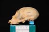 http://mczbase.mcz.harvard.edu/specimen_images/mammalogy/large/30712_Ateles_Paniscus_hl2.jpg