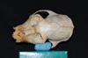 http://mczbase.mcz.harvard.edu/specimen_images/mammalogy/large/30715_Alouatta_belzebul_hd.jpg