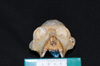 http://mczbase.mcz.harvard.edu/specimen_images/mammalogy/large/30715_Alouatta_belzebul_hf.jpg