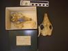 http://mczbase.mcz.harvard.edu/specimen_images/mammalogy/large/30949_Euphractus_sexcinctus_hv.jpg
