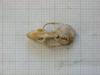 http://mczbase.mcz.harvard.edu/specimen_images/mammalogy/large/31366_Otomys_angoniensis_elassodon_hd.jpg