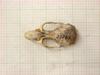 http://mczbase.mcz.harvard.edu/specimen_images/mammalogy/large/31369_Otomys_barbouri_hd.jpg