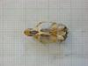 http://mczbase.mcz.harvard.edu/specimen_images/mammalogy/large/31371_Otomys_barbouri_hv.jpg